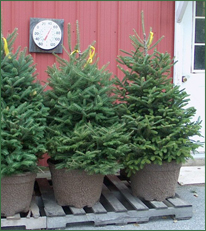Pleasant Valley Tree Farm - Potted Trees