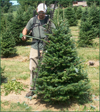 Pleasant Valley Tree Farm - Trimming Trees