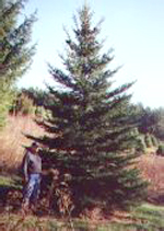 Pleasant Valley Tree Farm - VT State Christmas Tree